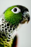 Bryan (Pyrrhura rupicola) (died 2011)