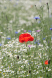 Poppy (Papaver rhoeas)