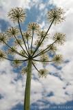 Cow parsley (Anthriscus sylvestris)