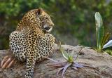 Elephant Plains - Leopard in camp