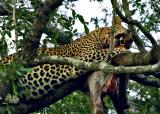 Nottens - Leopard with baboon kill