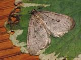 Operophtera brumata - Winter Moth 1a.jpg