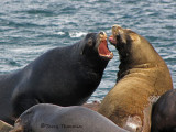 California Sea Lions 12a.jpg