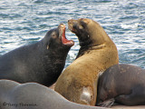 California Sea Lions 14a.jpg