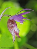 Fairyslipper - Calypso bulbosa 1a.jpg