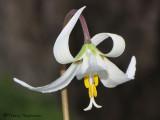 White Fawn Lily - Erythronium oregonum 5a.jpg
