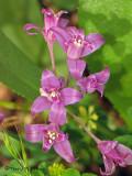 Tapertip Onion - Allium acuminatum 1a.jpg