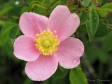 Nootka Rose - Rosa nutkana 1.JPG