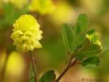 Field Clover - Trifolium campestre 1.JPG