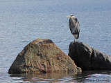 Great Blue Heron 17a.jpg