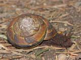 Terrestrial Snail A1a.jpg