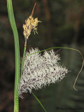 Slough Sedge - Carex obnupta A2b.jpg