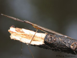Water Scorpions - Nepidae of B.C.