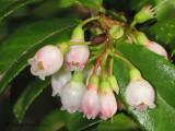 Evergreen Huckleberry - Vaccinium ovatum 1a.jpg