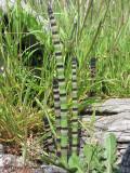 Scouring-rush - Equisetum hyemale 2.JPG