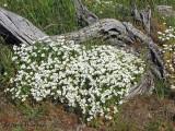 Field Chickweed - Cerastium arvense 2a.jpg
