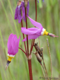 Few-flowered Shootingstar - Dodecatheon pulchellum 4a.jpg