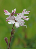 Small-flowered Woodland Star - Lithophragma parviflorum 1a.jpg
