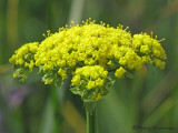 Spring Gold - Lomatium utriculatum 1a.jpg