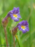 Naked Broomrape - Orobanche uniflora 2a.jpg