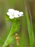 Scoulers Popcornflower - Plagiobothrys scouleri 1b.jpg