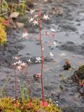 Western Saxifrage - Saxifraga occidentalis 3a.jpg