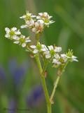 Western Saxifrage - Saxifraga occidentalis 4a.jpg