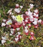 Oregan Stonecrop - Sedum oreganum 1a.jpg