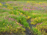 Seep with Yellow Monkey-flower Common Camas and Sea Blush 1a.jpg