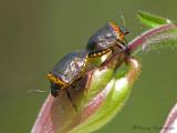 Cosmopepla conspicillaris - Stink Bug 1a.jpg