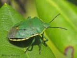 Chlorochroa sp. - Green Stink Bug A3a.JPG