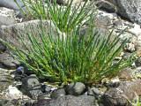 American Glasswort - Salicornia virginica 1a.JPG