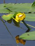 Yellow Pond-lily - Nuphar polysepalum 4a.jpg