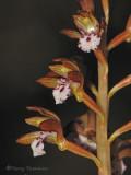 Spotted Coralroot - Corallorhiza maculata 2b.jpg