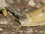 Ariolimax columbianus - Banana Slug 2.JPG