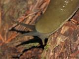 Ariolimax columbianus - Banana Slug 3.JPG