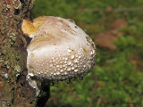 Red-banded Polypore - Fomitopsis pinicola 2a.jpg