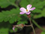 Herb-robert - Geranium robertianum 1a.jpg