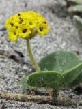 Yellow Sand-verbena - Abronia latifolia 3a.jpg