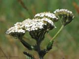Yarrow - Achillea millefolium 1a.jpg