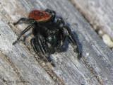 Phidippus sp. - Jumping Spider B1a.jpg