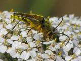 Cosmosalia chrysocoma - Long-horned beetle 3a.JPG