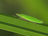 Draeculacephala sp. - Leafhopper B3b.jpg