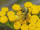 Misumena vatia - Goldenrod Spider with bumble bee 1a.jpg