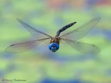 Rhionaeschna multicolor - Blue-eyed Darner in flight 8b.jpg