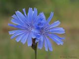 Chicory - Cichorium intybus 2b.jpg