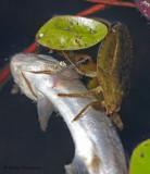 Lethocerus americana Giant Water Bug 3b.jpg