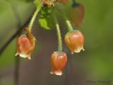 Menziesia ferruginea False Azalea 1a.jpg