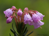 Phyllodoce empetriformis Pink Mountain-heather 5a.jpg
