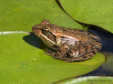 Red-legged Frog 7a.jpg